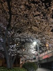 ちょうど満開の夜桜でした